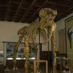 Динотерий в Палеонтологичния музей